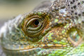 Close-up of the eye of a green iguana. Closeup eye of green igua Royalty Free Stock Photo