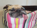 Close up face of cute funny puppy pug dog sleep rest on pillow bed with tongue sticking out Royalty Free Stock Photo