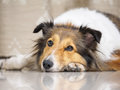 Close-up face of cute sheepdog lying on floor