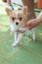 Close up face fancy color of pomeranian dog washing take a bath Stock Photos
