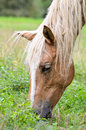 Close up face of the horse grazing in pasture Royalty Free Stock Photos