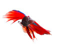 Close up face of red thai betta fighting fish with full beautifu Royalty Free Stock Photo