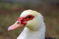 A close up face view of a muscovy duck Royalty Free Stock Photography