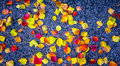 Close up Fall Foliage Leaves fall to the ground with dark Contrasting Asphalt Royalty Free Stock Photo