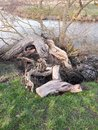 close up of fallen bare tree trunk stump uk Royalty Free Stock Photo