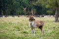 Close up fallow deer standing in autumn wood xxl Stock Photography
