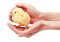 Close up of female hands holding small yellow chicken Royalty Free Stock Photo