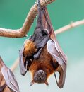 Close Up Of A Female Indian Flying Fox With Pup