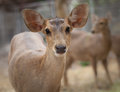 Close up female rusa deer Stock Photos