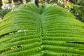 Close-up of fern leaf in Big island forest Stock Image