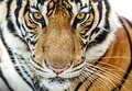 Close-up of fierce tiger faces Royalty Free Stock Photo