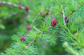 Close up of fir tree branches with cones and needles horizontal Stock Photo