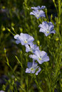 Close up Flax flower.Linum perenne 'Sapphire' Stock Image