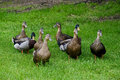 Close up flock of Mallard Ducks in green grass. Royalty Free Stock Photo