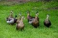 Close up flock of Mallard Ducks in green grass. Royalty Free Stock Photo