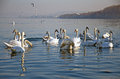 Close up of a flock of swans during the winter migratory on danube river zemun serbia january large on danube river in Royalty Free Stock Images