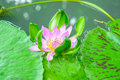 Close up flower lotus on leaf pink in canal of asia Stock Images