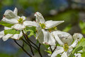 Close-up of a Flowering Dogwood Tree Royalty Free Stock Photo
