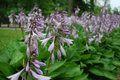 Close up of a flowering Hosta sieboldiana 'Elegans'. Royalty Free Stock Photo