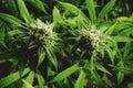 Close Up Flowering Marijuana B...