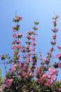 Oldfashioned Weigela flowers Royalty Free Stock Photo