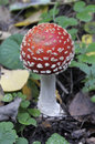 Close-up of fly agaric mushroom in a forest Royalty Free Stock Photo