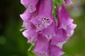 Close up foxglove digitalis purpurea purple flowers of popular garden plant selective focus copy space Stock Image