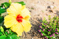 Close up of fresh blooming orange flower hibiscus in garden this is Royalty Free Stock Photo