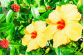Close up of fresh blooming orange flower hibiscus in garden this is Stock Image
