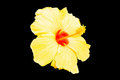 Close up of fresh blooming orange flower hibiscus isolated on b this is black background Stock Photography
