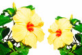 Close up of fresh blooming orange flower hibiscus on w this is white background Royalty Free Stock Photography