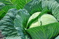 Close up of fresh cabbage in the vegetable garden Royalty Free Stock Images