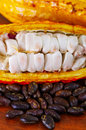 Close up of a fresh cocoa beans in a cocoa pods and dark dry cocoa bean on wooden table Royalty Free Stock Photo