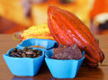 Close up of a fresh cocoa pods: dark dry cocoa bean, pieces of chocolate and powdered cocoa inside of a blue plastic Royalty Free Stock Photo