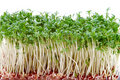 Close-up of fresh cress Royalty Free Stock Photos