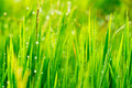 Close up of fresh grass Royalty Free Stock Photography