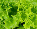 Close up Fresh green lettuce background Royalty Free Stock Photo