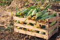 Close up fresh nature sweet corn in wood box on the field of organic eco farm Royalty Free Stock Photo