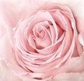 Close-up of fresh pink rose Royalty Free Stock Photo