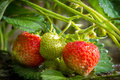 Close-up fresh strawberries on cuttings Royalty Free Stock Photos
