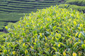 Close up fresh tea leaves in the morning took this photo at chuifong planation mae fah luang district chiangrai province Royalty Free Stock Image