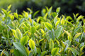 Close up fresh tea leaves in the morning took this photo at chuifong planation mae fah luang district chiangrai province Royalty Free Stock Photos