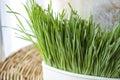 Close up fresh wheatgrass Royalty Free Stock Photo