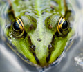 Close up frog Royalty Free Stock Photo