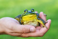 Close up of Frog in a Hand Royalty Free Stock Photo