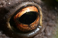 Close up of a frog`s eye Royalty Free Stock Photo