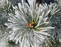 Close up of frost on pine tree Stock Photos