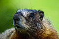 Close up of a Furry Marmot Royalty Free Stock Images