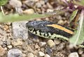 Close up garter snake on road in canada Stock Image