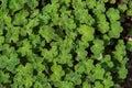 Close Up On Geranium Renardii ...